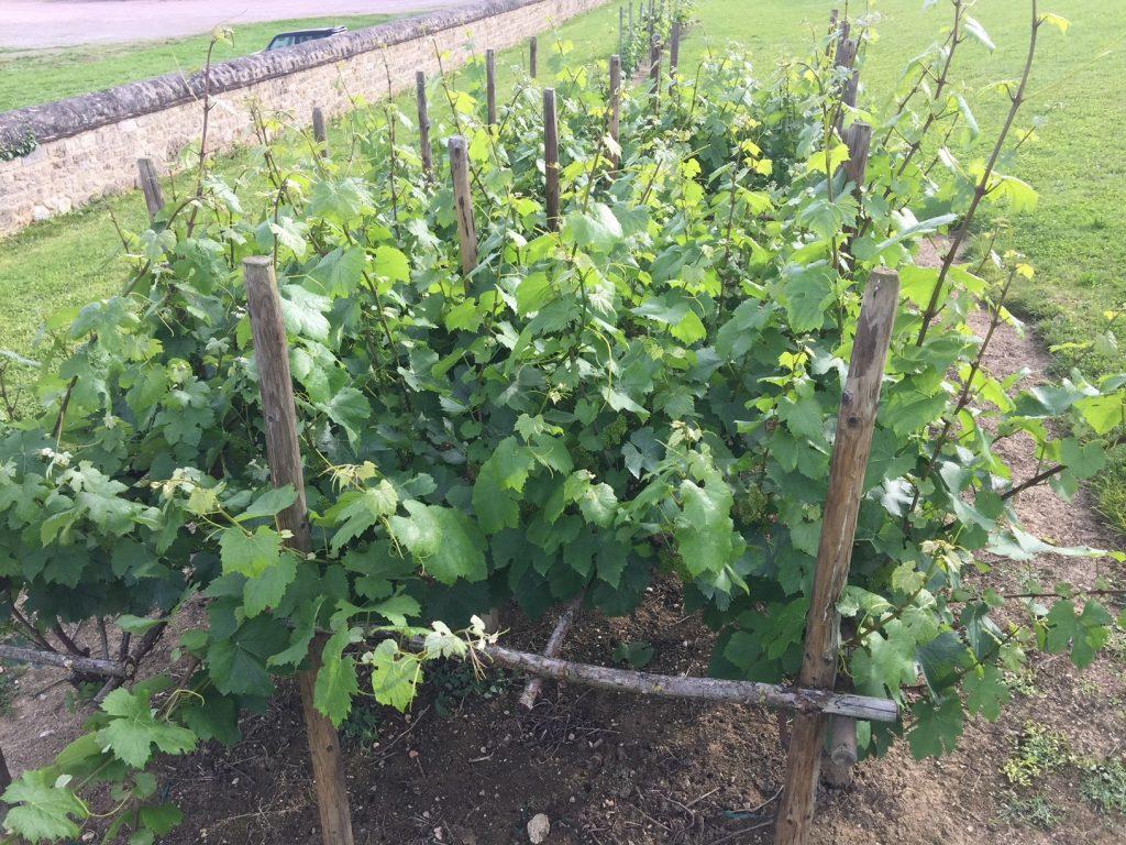 conduite vigne medievale condemine