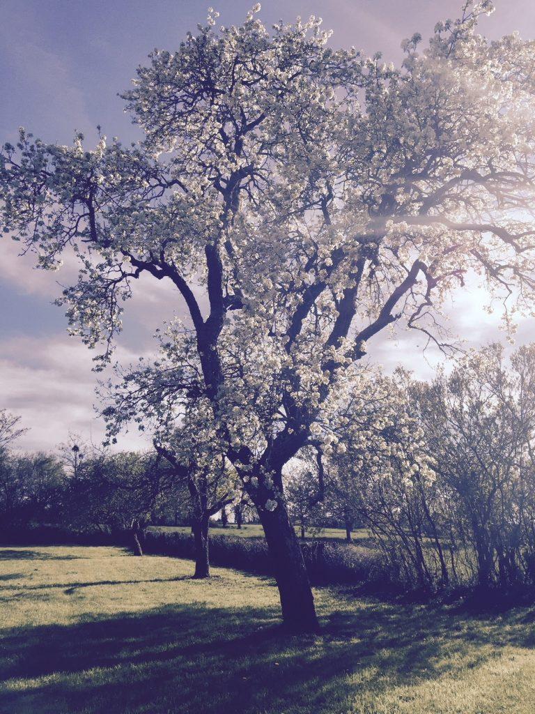 poirier fleur Condemine parc jardin verger